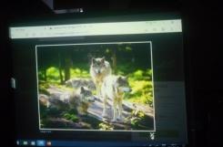 2021-02-09 - Sowy - Adopcja wilka szarego