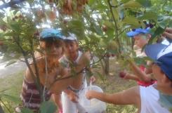 2021-07-06 - Sowy - Zrywamy wiśnie z naszych drzewek na pyszny kompot